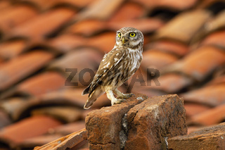Attentive little owl sitting on a brick in farmland with red tiled roof in background