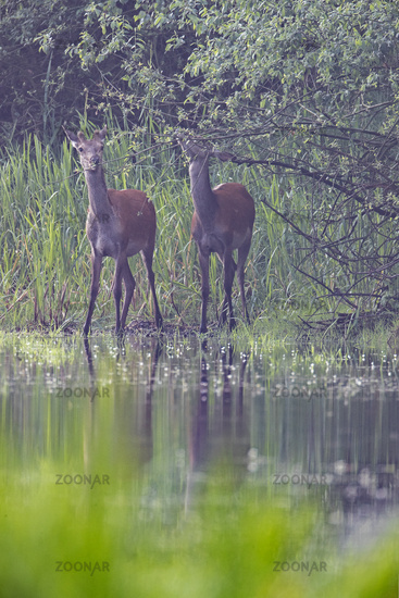 The fresh green of the willow trees attracts the Red Deer