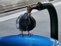 thirsty dove