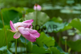 Dewdrops of water on a petals of a pink lotus flower