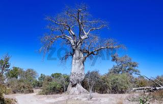 Affenbrotbaum, South Luangwa NP, Sambia, (Adansonia digitata) | monkey-bread tree, South Luangwa NP, Zambia, (Adansonia digitata)