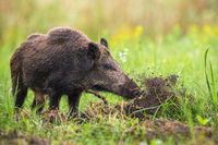 Wild boar digging in the ground with snout and throwing mud away on meadow