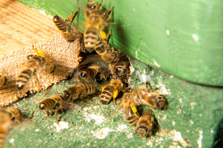Bees at entrance to bee colony or beehive
