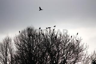 Krähen in der Baumkrone