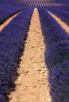 Mediterranean field of lavender 8
