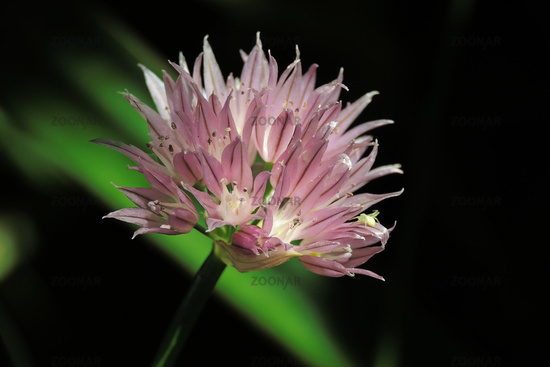 flower of chive