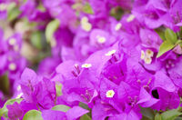 close up blooming Bougainvillea in Thailand