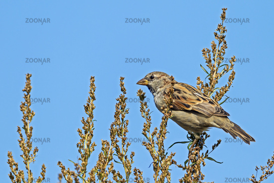House Sparrow male in the moult