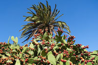 Prickly pear on the island of La Gomera