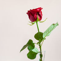red rose flower with square pink background