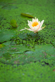 White water lily growing in a pond