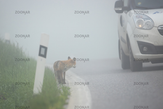 Car passing by a fox standing on the side of a road