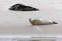 Harbor Seal (Phoca vitulina)