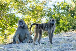 monkey Chacma Baboon, Botswana Africa safari wildlife