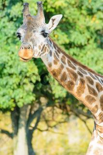 Giraffe im Bild