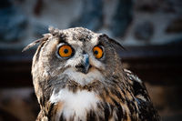 Close-up on a Great horned owl