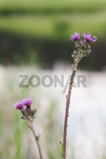 Two stems of Cirsium vulgare bull thistle