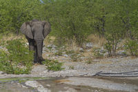 Elefant kommt aus dem Busch