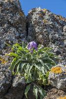 Kreuzblütengewächse (Brassicaceae)