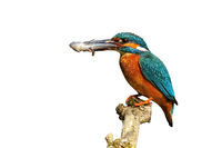 Male common kingfisher holding fish on branch cut out on blank.