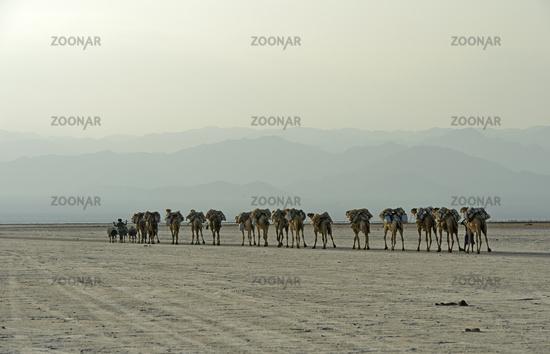 Dromedary caravan carrying at dusk salt slabs over Lake Assale, Afar region, Ethiopia