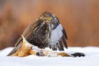 Common buzzard standing next to dead fox on snow in winter