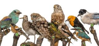 Viele ausgestopfte Vögel sitzen in einer Reihe auf Holzästen freigestellt auf weiß