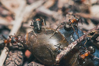 forest ants team eat wood snails. A perfect example of teamwork. Selective focus macro shot with shallow DOF