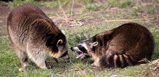Zwei Waschbären kämpfen