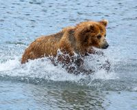 Brown bear hunts for salmon