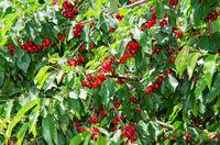 Many red sweet ripe cherry berries