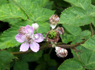 close up of pink wild blackberry flowers surrounded by leaves in early summer