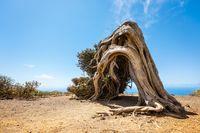 Juniper tree bent by wind. Famous landmark in El Hierro, Canary Islands