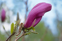magnolia flower on the blur spring greens background