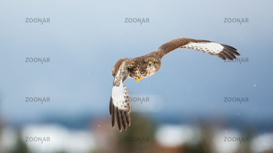 Majestic common buzzard flying in the air in winter.