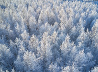 Aerial photo of nbirch forest in winter season. Drone shot of trees covered with hoarfrost and snow.