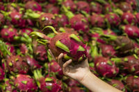 Male hands holding a dragon fruit with a lots of dragon fruit on a background. Dragon fruit or pitaya. Tropical and exotic fruits. Healthy and vitamin food concept.