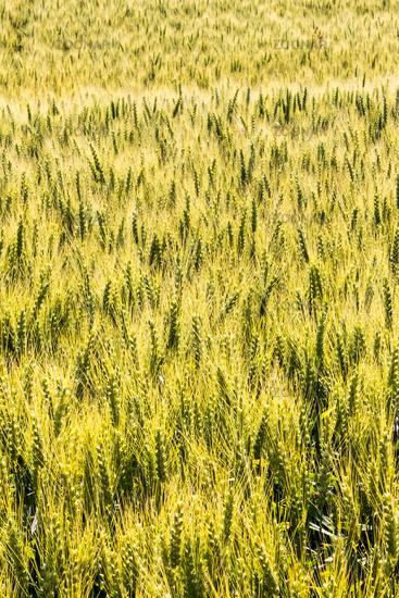 Barley field before harvesting
