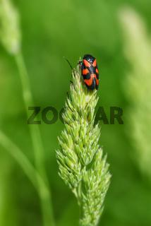 Rot schwarzer Pflasterkäfer