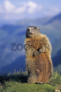 Alpenmurmeltier beobachtet wachsam die Umgebung vor dem Panorama der Alpen - (Murmeltier) / Alpine Marmot observing alert the environment in front of the Alps / Marmota marmota