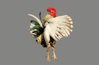 Rooster dancing nicely