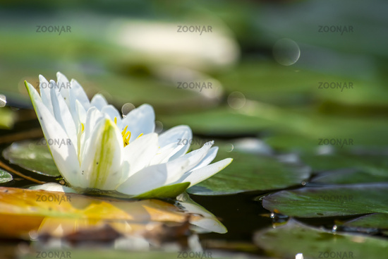 Single water lily with a green leaf floating on water with copy space