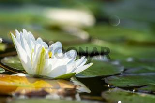 Einzelne Seerose mit grünen Blättern und Schilf  schwimmt auf dunklem Wasser