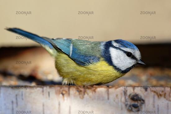 Blue tit feeding in the birds house