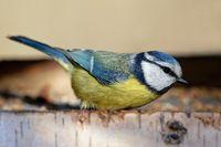 Blaumeise im Vogelhaus