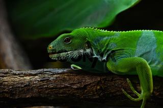Brachylophus bulabula or Fiji banded iguana female
