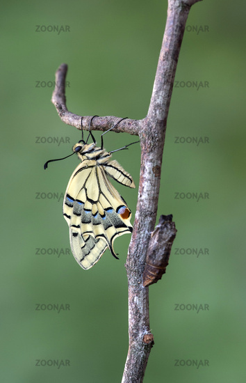 Freshly hatched swallowtail (Papio machaon) next to its empty pupal case