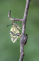 Freshly hatched Old World swallowtail (Papilio machaon) besides its empty pupa shell, Switzerland