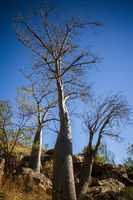 Boab tree at s hill at the dry season with blue sky - Kimberleys - Western Australia
