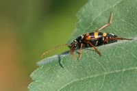 leptura aurulenta in the garden